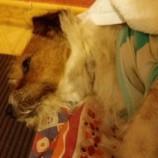 Cães de grande porte atacam em Santa Tereza